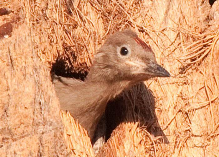 Melanerpes uropygialis - carpintero del desierto - gila woodpecker