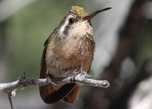 Xantus BCS Birds