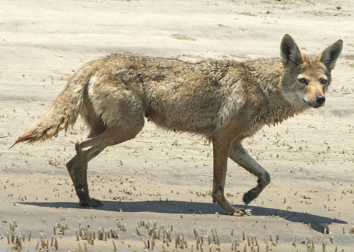 Coyote – Canis latrans – coyote